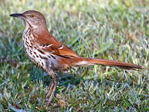 The Brown Thrasher